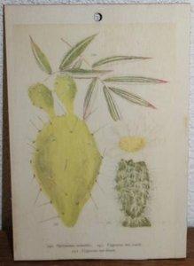 Brocante botanische schoolplaat op hout vijgcactus 17,5x12 cm